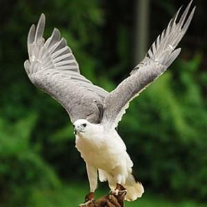 Aquila bianca 2